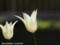 ユリ咲きチューリップ