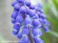 [花]ムスカリ