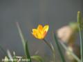 [花]縦じまチューリップ