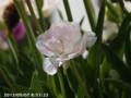 [花]ローズチューリップ・アンジェリカ