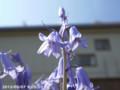 [花]シラー・カンパニュラタ