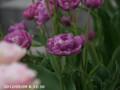 [花]ローズチューリップ・ブルーダイヤモンド