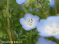 [花]ネモフィラ