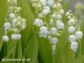 [花]スズラン