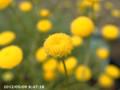[花]コツラ