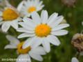 [花]ノースポール