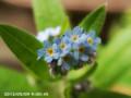 [花]ワスレナグサ