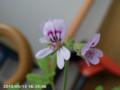 [花]カレンソウ