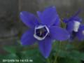 [花]オダマキ