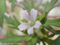 [花]アメリカフウロ
