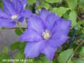 [花]クレマチス