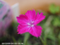 [花]ナデシコ