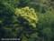 山の木の花