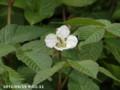 [花]バラ科の花かな