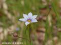 [花]ニワセキショウ
