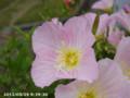 [花]ヒルザキユウガオ