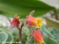 [花]エケベリス
