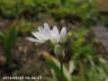 [花]アリュームコワニー