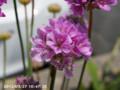 [花]スカビオサ