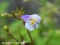 [花]トキワハゼ