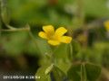 [花]カタバミ