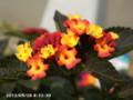 [花]ランタナ