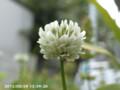 [花]シロツメグサ