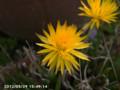 [花]マツバギク
