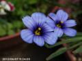 [花]シシリンチウムカルフォルニアスカイ