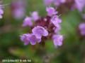 [花]イブキジャコウソウ