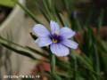 [花]シシリンチュームカルフォルニアンスカイズ