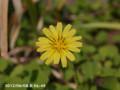 [花]ジシバリ