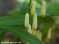 [花]ナルコユリ