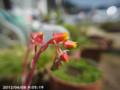 [花]エケベリア