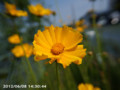 [花]オオキンケイギク