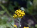 [花]ハハコグサ