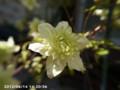 [花]シロマンエ