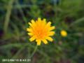 [花]タンポポ