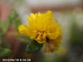 [花]八重咲きポーチュラカ