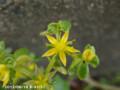 [花]ツルマンネングサ
