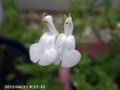 [花]チェリーセージ
