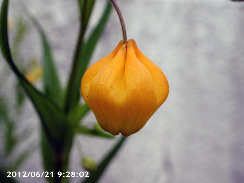 サンダーソニア