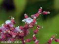[花]キョウカノコ
