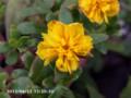 [花]八重咲ポーチュラカ