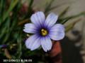 [花]シシリンチューム・カルフォリニアンズアイズ