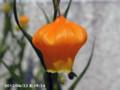 [花]サンダーソニア