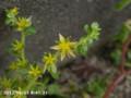 [花]コモチマンネングサ