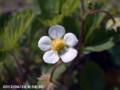 [花]ワイルドベリー