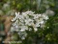 [花]コリアンダー