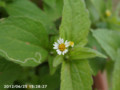 [花]ハキダメギク